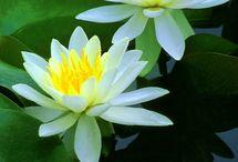 Flower: Water Lilies