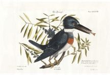 Catesby - Sammlung Verschiedener Ausländischer und Seltener Vogel from Johann Michael Seligmann
