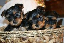 Before You Get A Puppy / Things you should know before you get a Yorkie