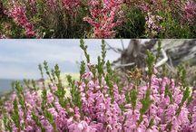 сад цветы вереск
