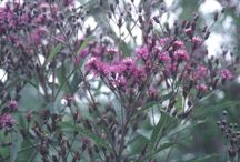 """2015 PDN  """"Ironweed""""   Vernonia / Vernonia (Ironweed) is a wonderful and easy-to-grow sun perennial. The genus Vernonia is a large one, with about 1000 species and it lives in a large plant family, Asteraceae. Vernonia provides nice summer color, late season height, and attracts butterflies and hummingbirds into the perennial garden. We continue to trial an array of Vernonia species for their garden value."""