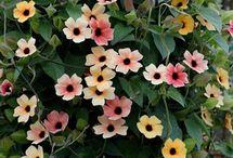 Household-Garden-Plants-Climbing flowers