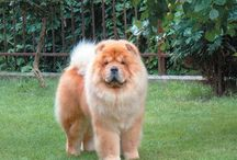 Chow Chow / A Beautiful Creature.. A Cat like Dog.. =) The best of both worlds / by Cat's Niche-n-Stitch