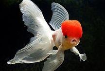 Gold Fish Types / by Klaressa Hobbs