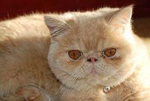 Persian Cat Center / Persian cat photos
