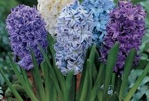 Hyacinth / Novel Inspiration