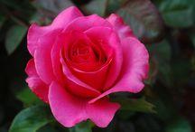 Rosas / De colores