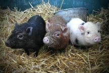 Piggys:)<3