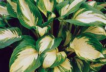 Hosta ssp. - Kuunliljat