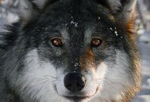 wolf's howl