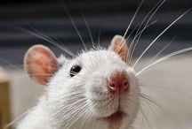 Rats / Rats