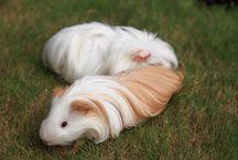 Shelti Guinea Pig