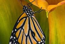 Butterflys / All things related to butterflys. / by Michelle Wiley