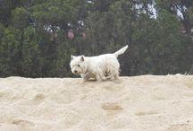 Meu Westie / Foto de Máximo, meu West Highlande White Terrier.