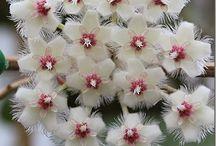 Hoya/porcelain flowers