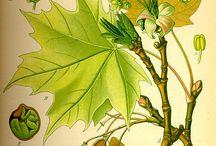 Puuvartiset koistekasvit