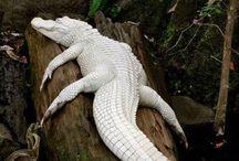 aligator blanc