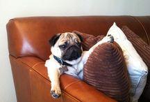 Pug love / Un fiel amigo es quien siempre escucha y esta atento a nosotros sin importar que reciba a cambio