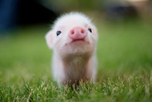Pigs are so cute