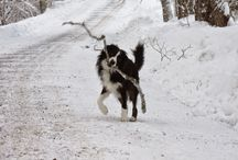 Border Collies / It's all about Kai-the border collie who lives on a Vermont sheep farm.