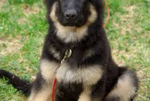 GSD's / by Kim King