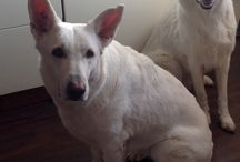My white dogs / Ammy & Nelly - our sweethearts
