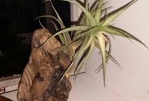 AIR PLANTS ON DRIFTWOOD
