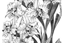 Flowers drawings of orchids