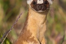 Weasles,lemmings & meerkats /  Here r some pics of adore weasles