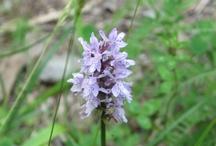 Flores del Pirineo. 花アラゴンピレネー. Flowers of the Pyrenees