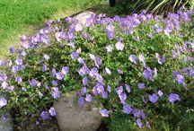 Ideer Stenhällsrabatt / Den fula gräsmattan intill trädgårdens stora stenhäll ska grävas bort och ersättas av vackra blommor i stället. Och kanske något mer ...
