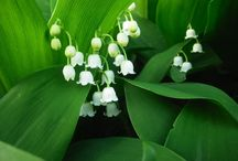"Lily of the valley ,Muguet / Lily of the Valley, In the ""language of flowers"", the Lily of the valley signifies the return of happiness..... LIMIT 10 PINS DAILY PER BOARD .PLEASE RESPECT MY REMINDER ....THANK YOU!"