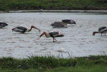 Birds in Sri Lanka / birds  srilanka