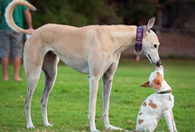 Greyhound / Elegant Greyhounds!