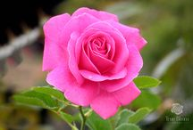 True Bloom™ Roses by Altman Plants / We at Altman Plants are thrilled to introduce our True Bloom™ line of Hybrid Tea Shrub™ roses: easy-to-grow varieties that are disease resistant and low maintenance. They are bred to produce a true rose bloom as well as for repeat & mass flowering. Coming to the market soon.