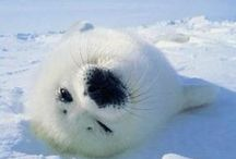 Baby of a seal ゴマちゃん