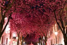 cherry blossoms / wish to see this trees