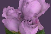 roses / Just roses