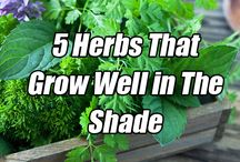 Vegetables growing in the shade