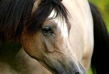 anglo arabian horse