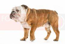 """Dog Photography / Gewoon geweldig vind ik het om baasje te mogen zijn van onze Bulldog """"Bailey"""". De blik van een hond verteld boekdelen, welk ras of karakter ook. Fotograferen van deze trouwe viervoeters blijft een uitdaging met een spontaan en uniek eindresultaat!"""