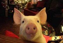 Ester the wonder pig