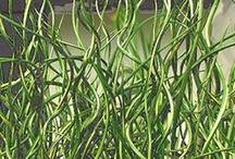 SUCCULENTS & UNIQUE PLANTS / Interesting good for container garden/Patio
