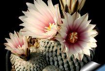 virágzó kaktuszok