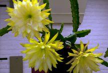 Epiphyllum hybr.