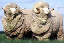 Sheep horns powders tonics pharmaceuticals home remedies
