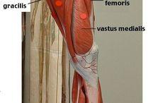 skeletal/Muscles