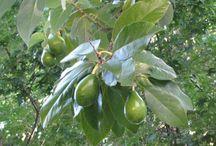 Avakado Yaprağı