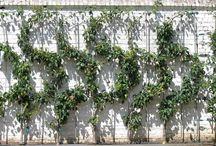 Espaliers pour embellir mur de votre jardin, / Décorer, embellir, habiller, cacher, garnir, sont quelques  raisons pour planter une palmette chez vous.  Dans l'art des jardins, la palissade devient le cas échéant un mur de verdure formé.  La culture en espalier donne, une structure assez originale au verger en palissant les arbres fruitiers contre un mur.  Les espaliers couvrent les murs de tapis semés de fleurs, garnis d'une verdure brillante, enrichis de fruits nombreux délicieux de toutes les couleurs