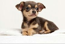 My next baby will be a Chihuahua